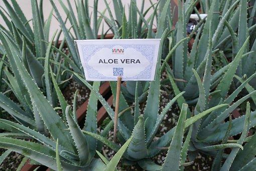 Aloe Vera Plant Healthy Aloe Vera Aloe Ver