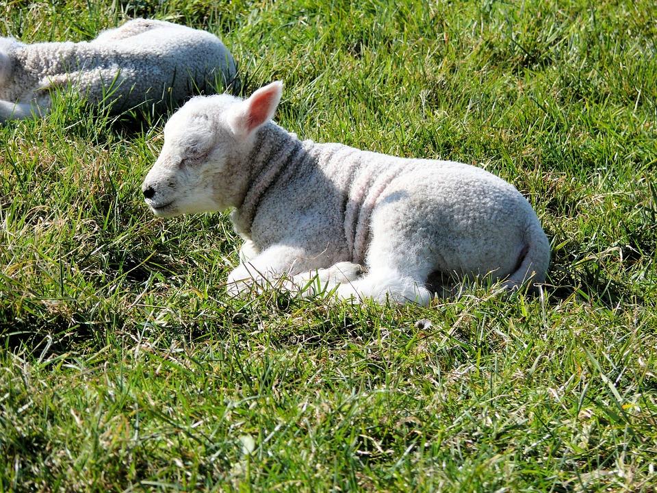 saunatur sau natur lamb dyr varen lam beite eng facebook