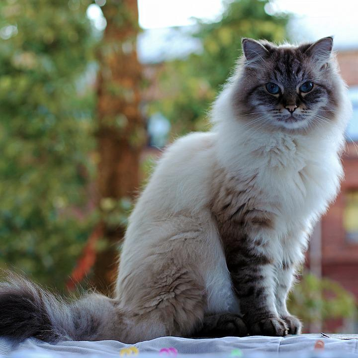 Big White Fluffy Cat Breed