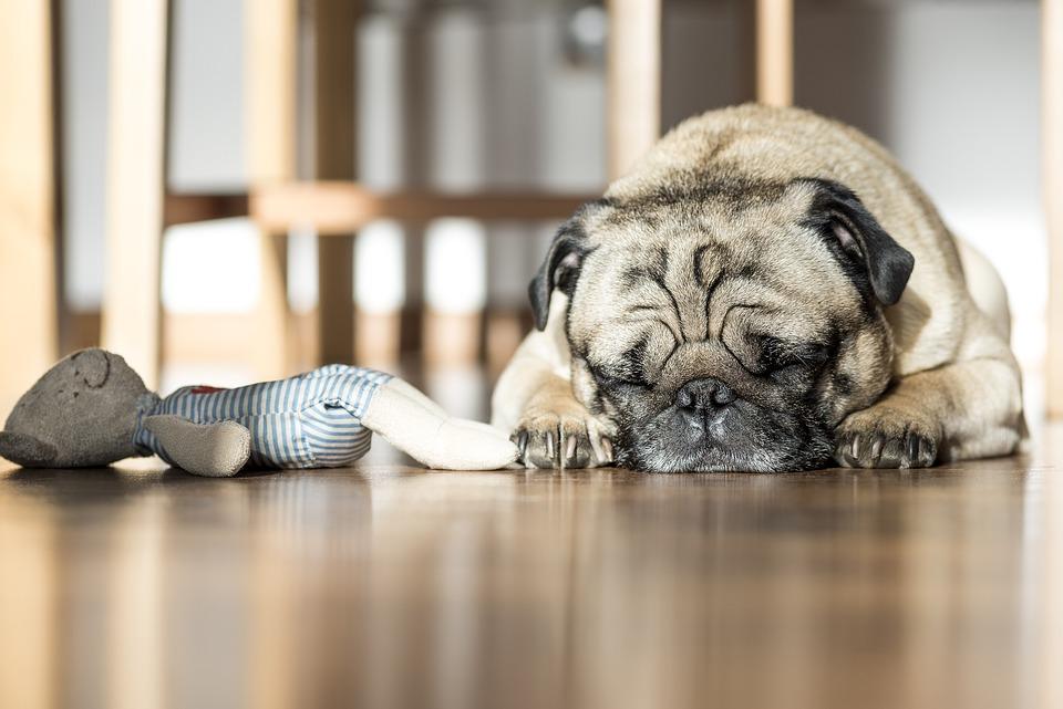 Dog, Sleeping, Pet, Animals, Toy, Brown Dog