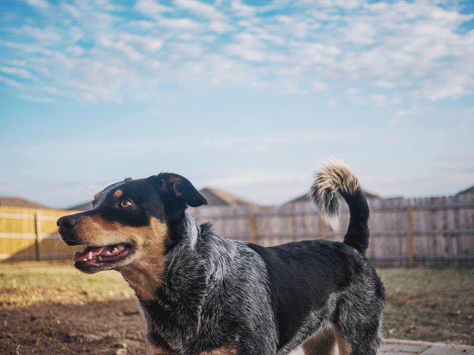 Dog, Puppy, Blue Heeler, Backyard, Sky, Fence, Happy