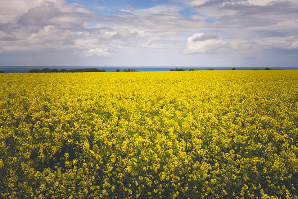 Yellow flowers field free photo on pixabay yellow flowers field nature sky clouds mightylinksfo Images