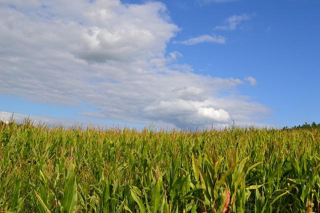 Free photo: Corn Field...