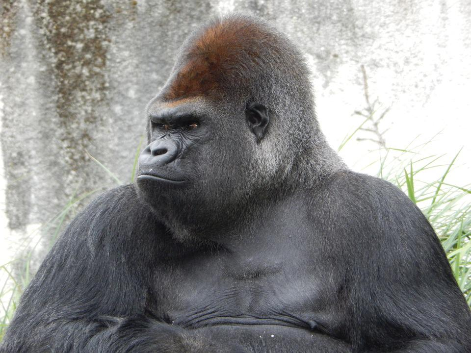 gorilla grodd in the gorilla city