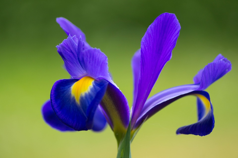 free photo iris, flower, purple, mauve  free image on pixabay, Beautiful flower