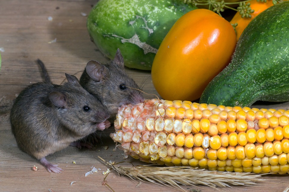 Effective Rodent Control Methods