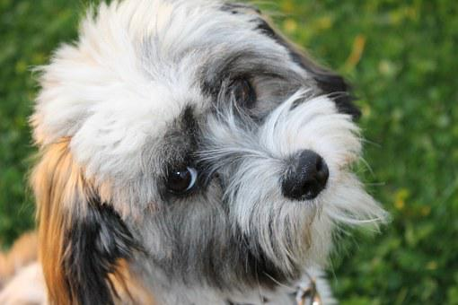Dog, Havanese, Good, View, Animal, Pet