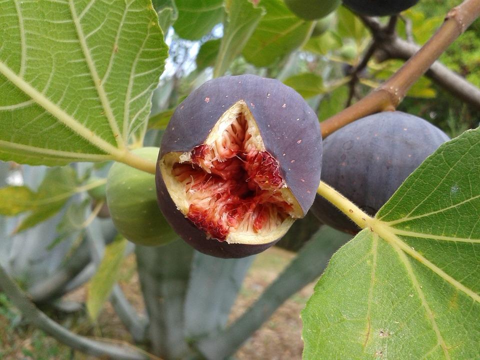 fig, fruit  free images on pixabay, Beautiful flower