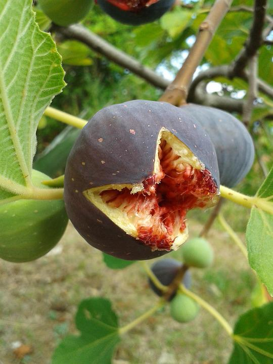 Fig Tree Images Pixabay Download Free Pictures