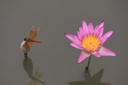 Lotus iei resimler pixabay cretsiz resimleri ndir iek lotus lotus iei bitki doal mightylinksfo