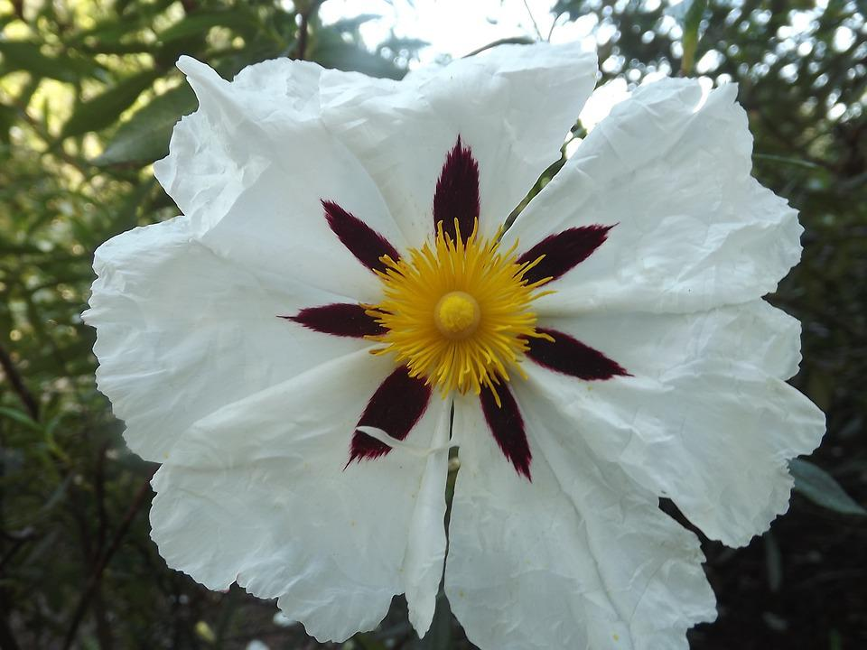 Cisto Bianco, Jara, Fiori, Natura, Fiore, Selvaggio