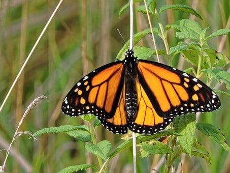Butterfly, Monarch Butterfly, Monarch