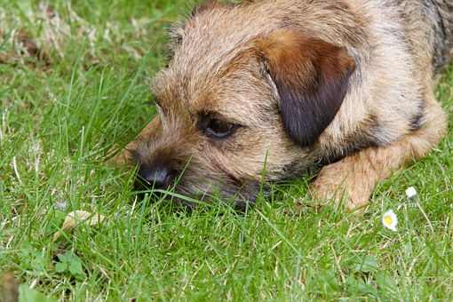 The Border Terrier Excels at Agility