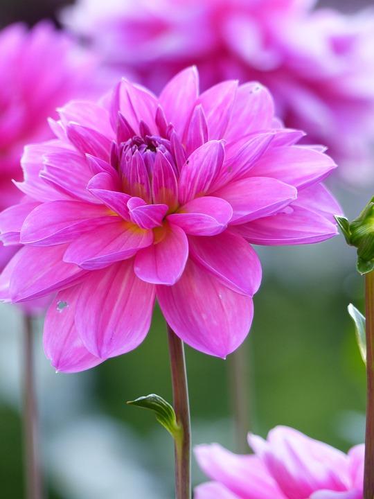 free photo dahlia, flower, summer, pink  free image on pixabay, Natural flower