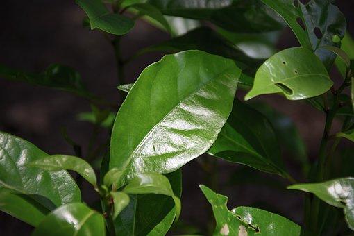 The Camphor, Leaf, Green, Grove, Plant