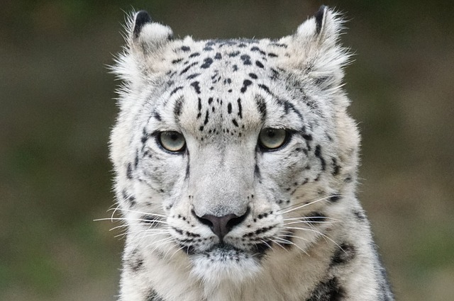 Cat Species That Live In The Himalayas