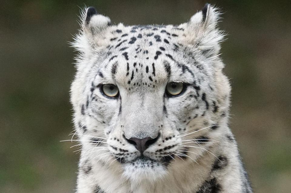 Snow Leopard, Portrait, Predator