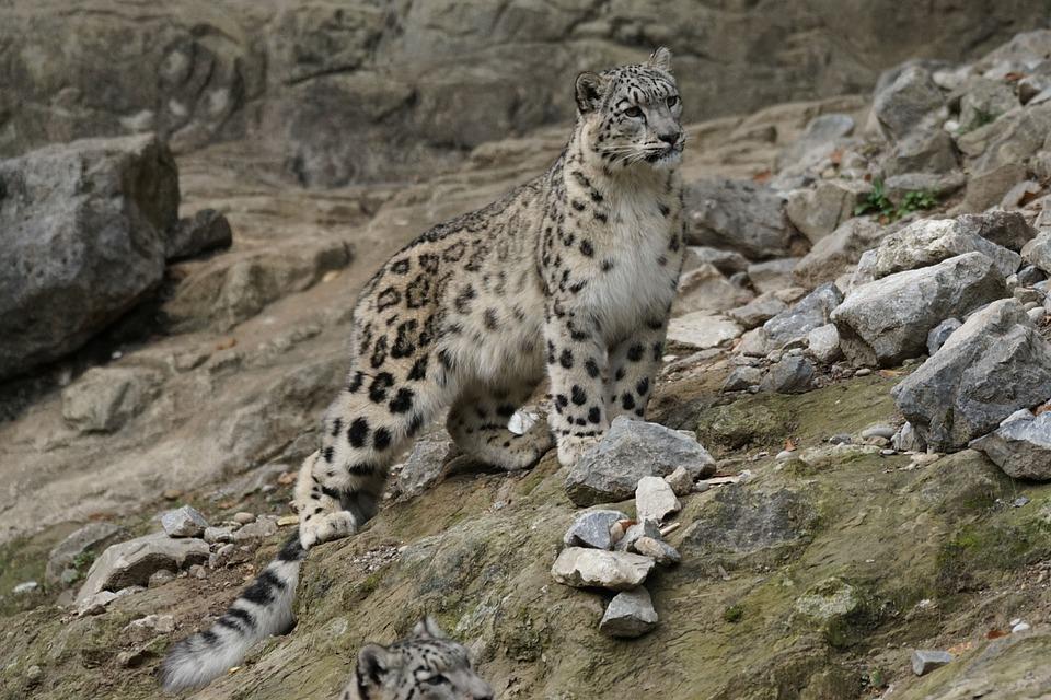 https://cdn.pixabay.com/photo/2015/09/09/08/41/snow-leopard-931224_960_720.jpg