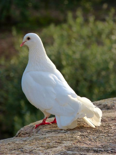 Free photo: White Dove, Peace, Paloma - Free Image on Pixabay - 931495