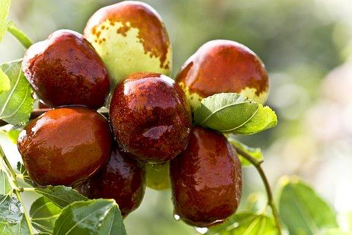 Jujube, Food, Green Dates, Date Tree