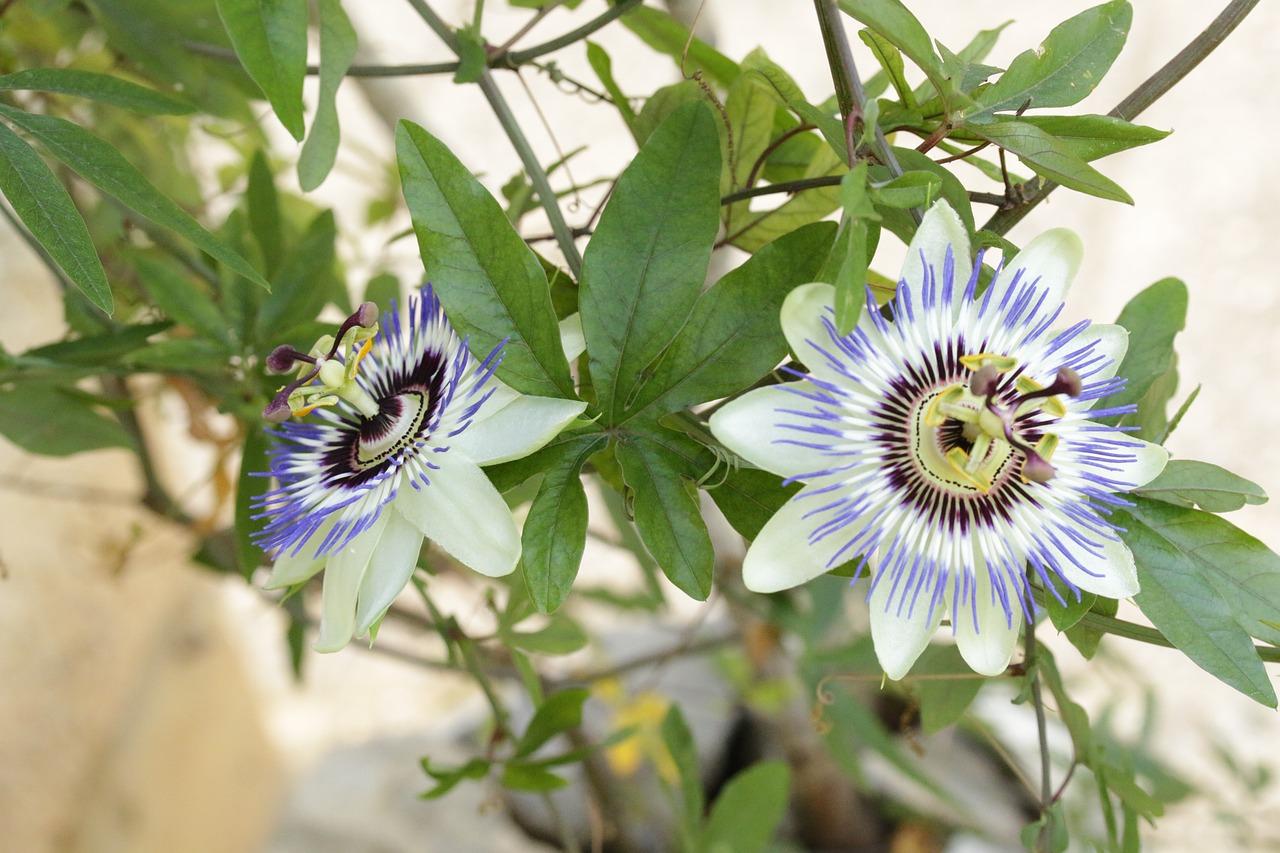 Сортовые цветы для дачи фото