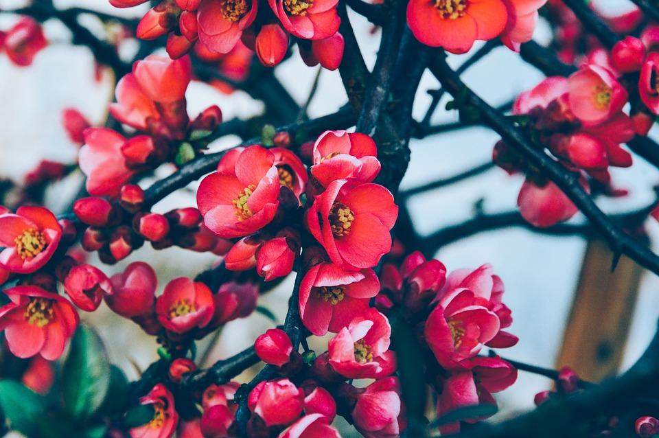 Arbre, Fleurs, Red, Printemps, Nature, Été, Feuilles