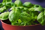 bazylia, zioła, żywności
