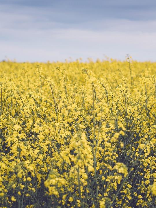 Yellow flower farm free photo on pixabay yellow flower farm field yellow flowers nature mightylinksfo