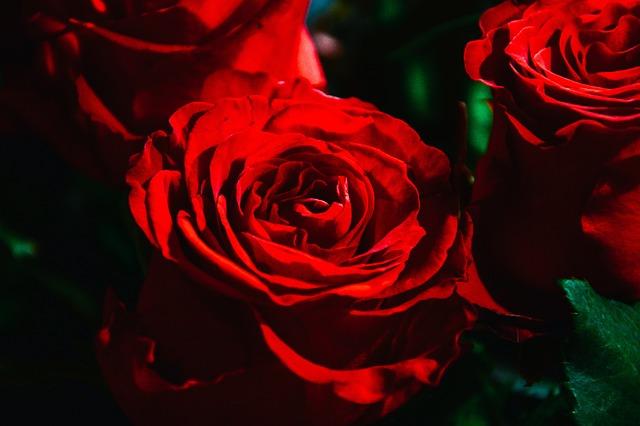 rot rose rote rosen kostenloses foto auf pixabay. Black Bedroom Furniture Sets. Home Design Ideas