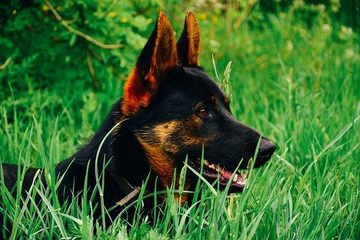 Saksanpaimenkoira, Koira, Pet, Purebred