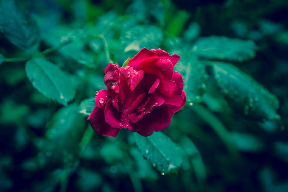 free photo rose, red, raindrops, flower, love  free image on, Beautiful flower