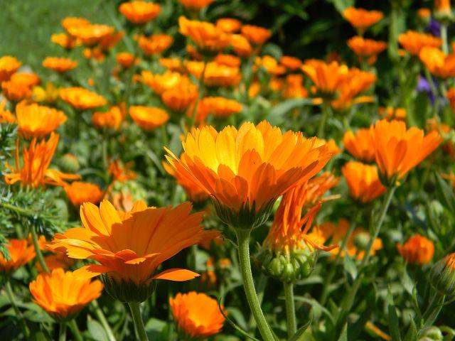 Цветы календула посадка и уход фото