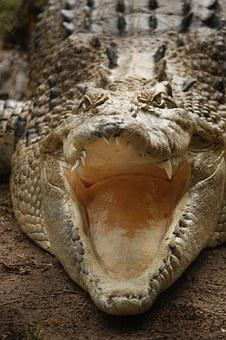 Crocodile, Teeth, Australia, Reptile