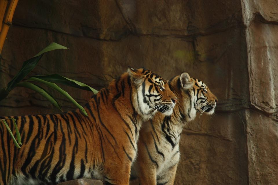 Tygrys, Tygrysy, Dzikie, Kot, Zwierząt, Przyrody, Ssak