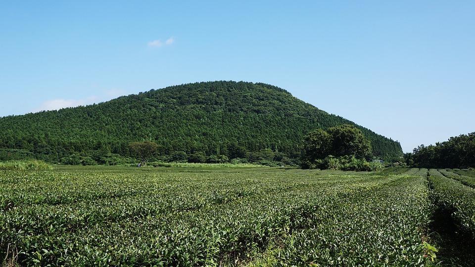 Jeju, Green Tea, 済州(チェジュ), 緑茶, 農場, 自然, 緑, 風景, 木