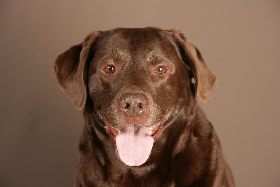 labrador hond dier  u00b7 gratis foto op pixabay