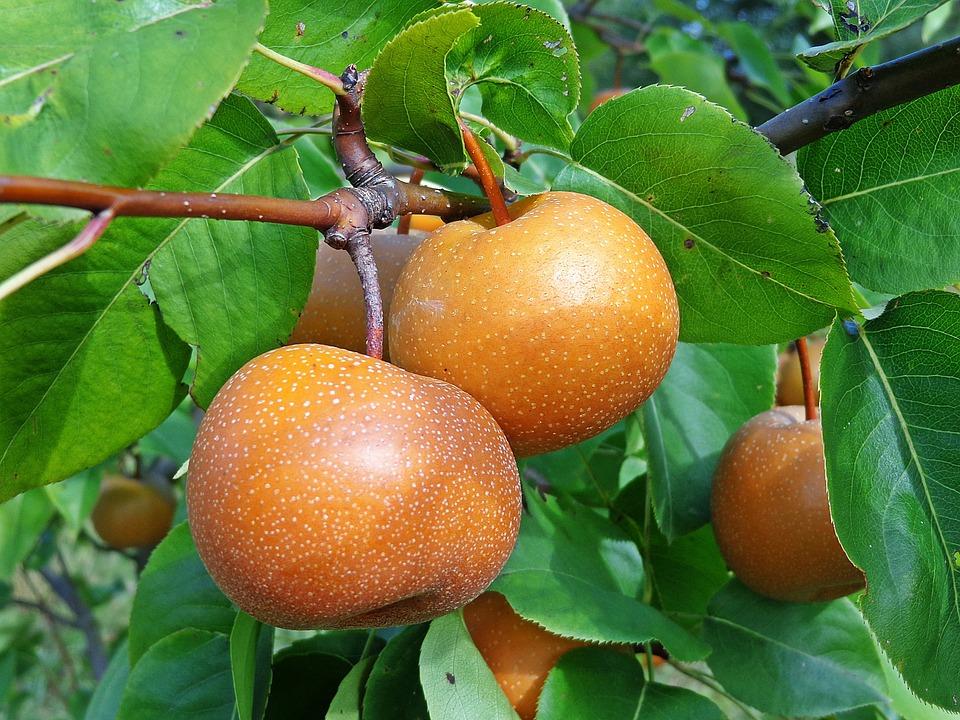 Asian Pear, Fruit, Pear, Gardening, Nature, Food