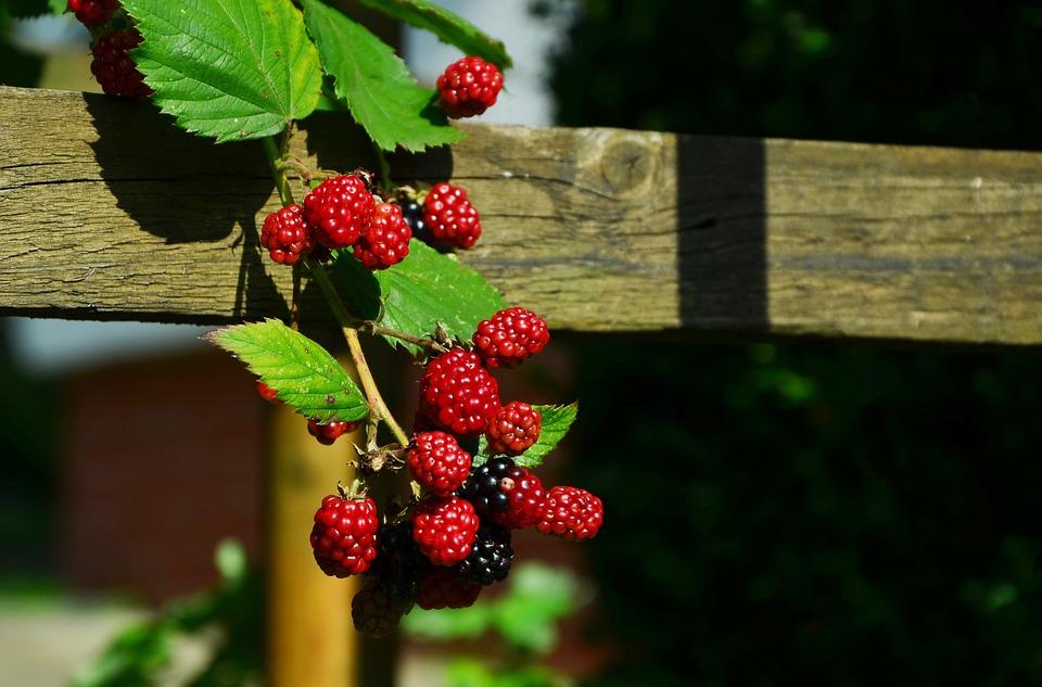 Blackberries, Berries, Fruits, Immature, Fruit, Red