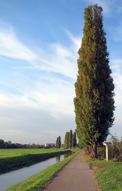 Free Photo Poplar Tree Lombardy Poplar Free Image On