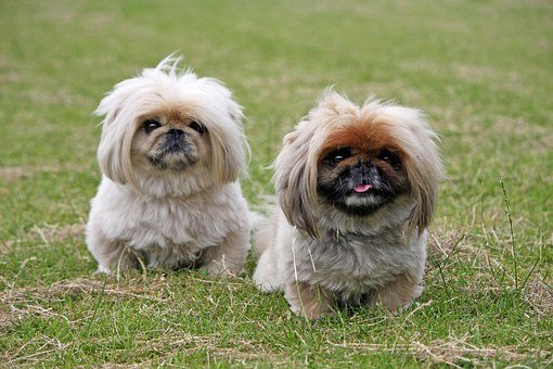 Miniature Pekingese Puppies For Sale in Louisiana