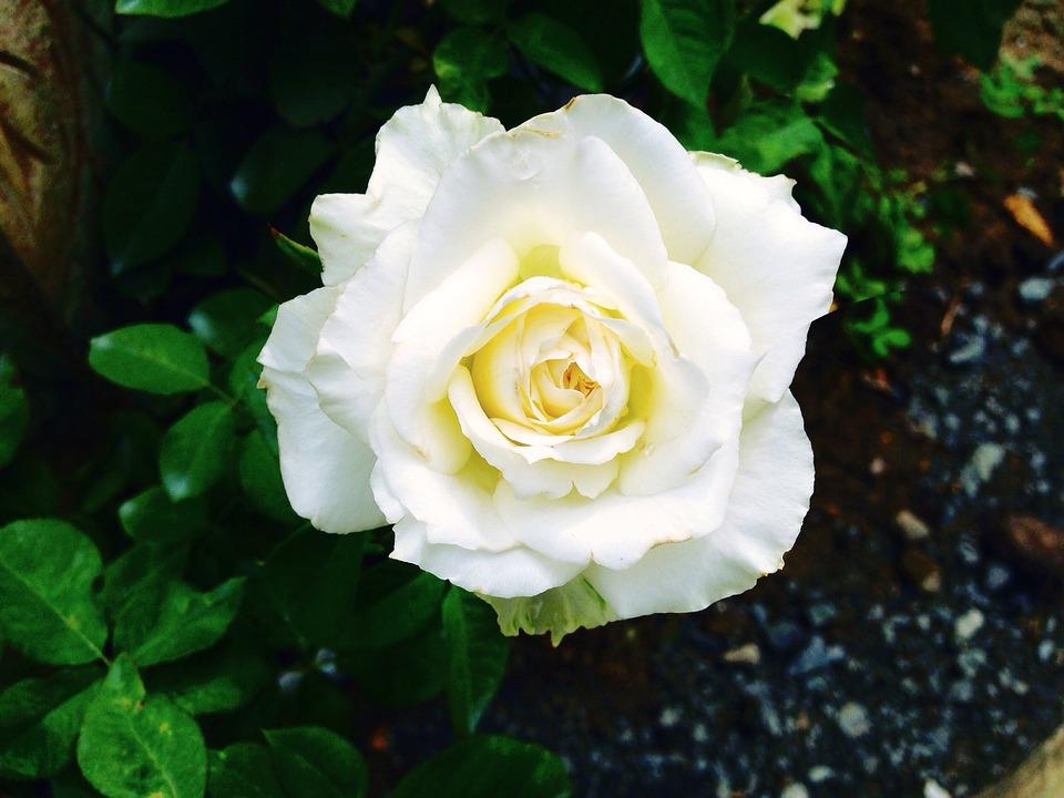 photo gratuite: rose, fleurs, rose blanche - image gratuite sur