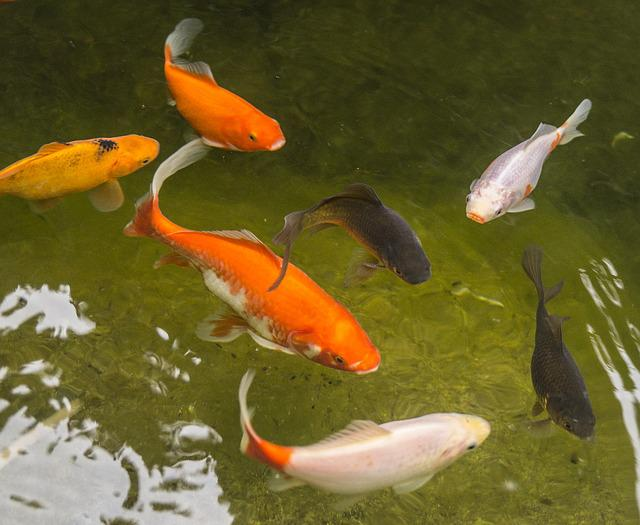 Free photo garden pond goldfish fish water free for Pesci rossi da laghetto