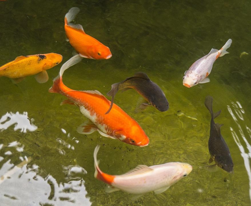 Free photo garden pond goldfish fish water free for Small goldfish pond