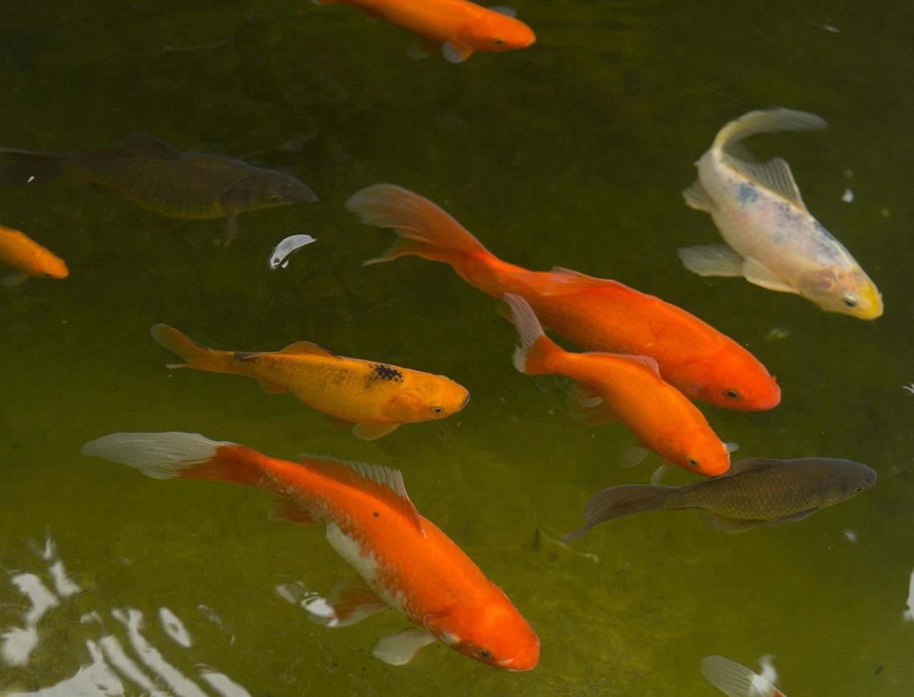 Bassin A Poisson Rouge bassin de jardin poisson rouge - photo gratuite sur pixabay