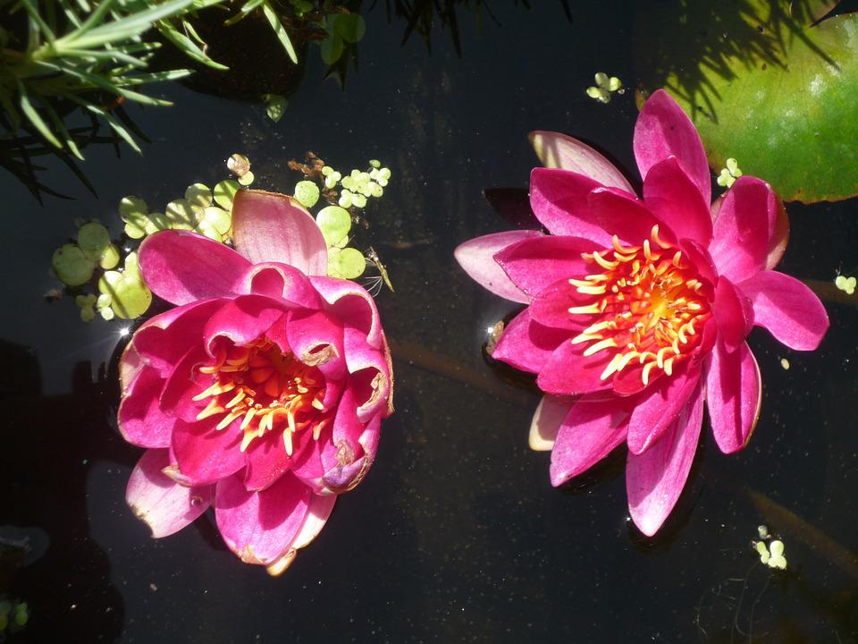 free photo lotus, lily, water lily, flower  free image on, Beautiful flower