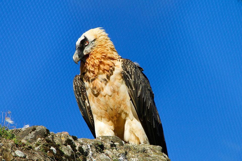 Nature, Animals, Birds, Raptor, Bearded Vulture