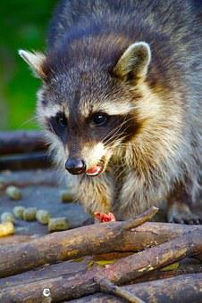 Nature, Animals, Bear, Raccoon, Meal