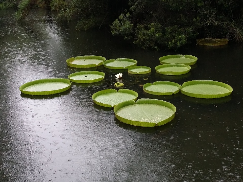 free photo lily pads giant aquatic rain free image
