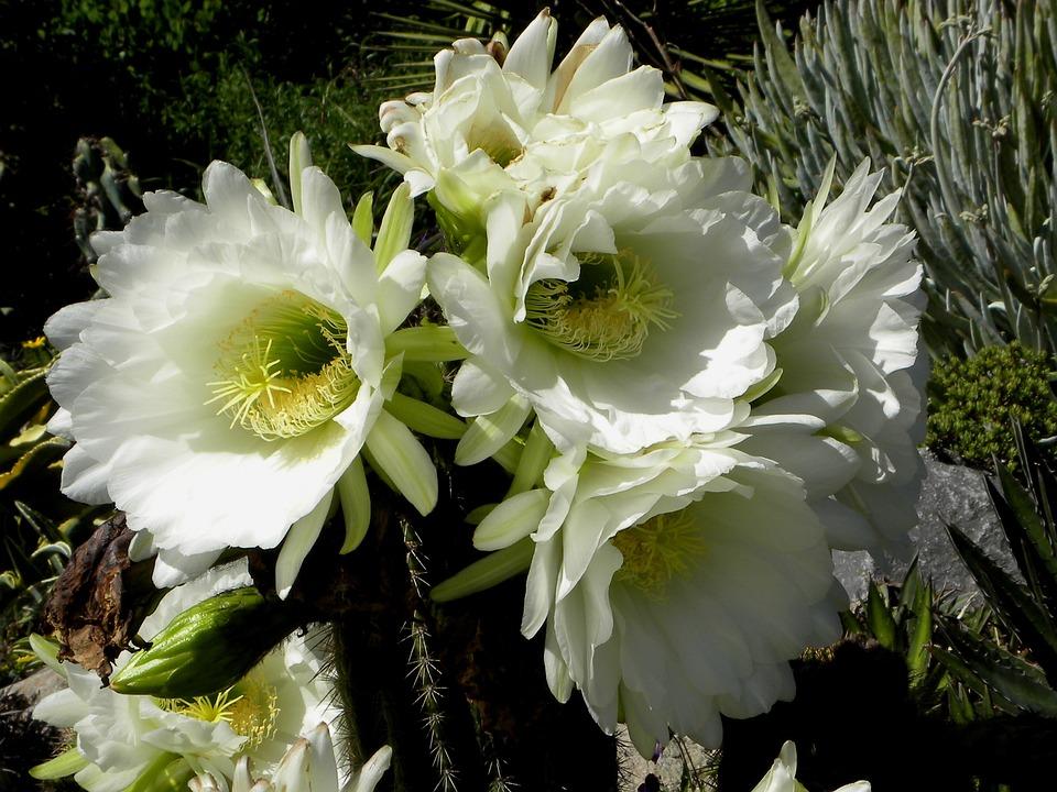 Kaktus Blüte · Kostenloses Foto auf Pixabay