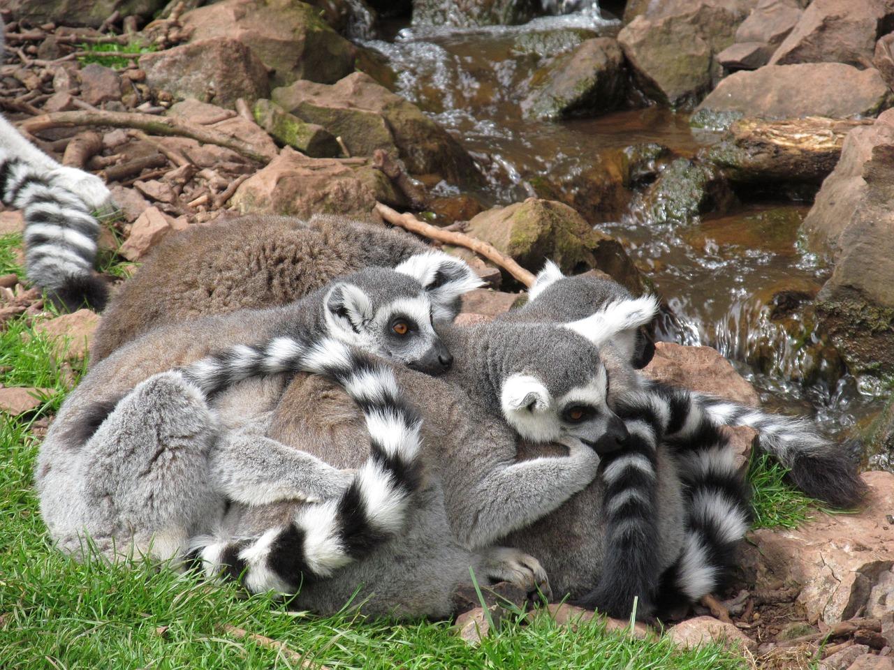 lemur-939540_1280.jpg